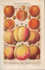 Chromo-Lithografie 1907: Pfirsiche und Aprikosen. Obst Pflanzen Blüten Nektarine