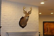 Whitetail Deer Head Shoulder Mount Taxidermy Mounted
