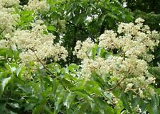 Bee tree! evodia hupehensis! Easy to grow great for wildlife! Fresh seeds �� ��