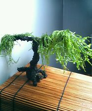 Moss aquarium tree for planted tank live plant