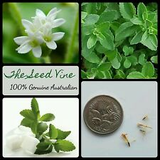 50+ SWEET LEAF PLANT SEEDS (Stevia rebaudiana) Natural Sweetner Sugar Edible