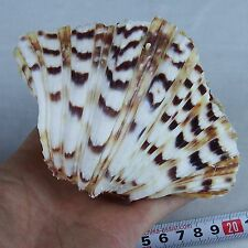 One(1) 4-5'' Clam TRIDACNA GIGAS Sea Shell Reef Beach Decor Craft Aquarium