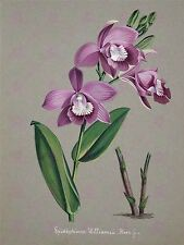 PAINTING BOOK PAGE ORCHID EPISTEPHIUM WILLIAMSI LARGE ART PRINT POSTER LF1471