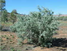 OLD MAN SALTBUSH Seed - Arid Living Frost Tolerant Fodder Bulk Buy 500gm