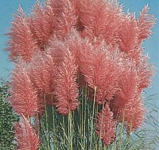 Ornamental Grass Seeds - PINK FEATHER PAMPAS - Fast Growing Perennial - 20 Seeds