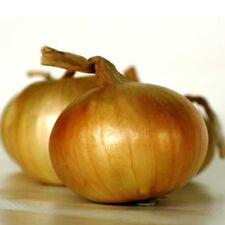 CIPOLLA SHENSHYU 200 SEMI giappone croccante sapore delicato dorata