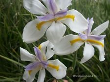 BULK BUY 50+ SEEDS, THE EVER POPULAR AND HARDY FAIRY IRIS, EASY TO GROW