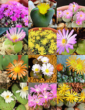 CONOPHYTUM  MIX, succulent cactus mixed living stones rocks plant seed 100 SEEDS