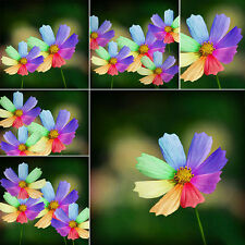 300PCS Amazing Home Garden Decor Rainbow Color Chrysanthemum Seed Flower Seeds