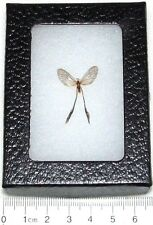 REAL FRAMED BUTTERFLY DAY FLYING MOTH LONG TAILS