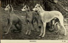 Whippet Dogs Real Photo Postcard