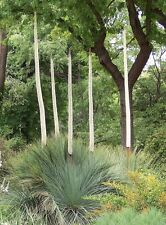 MT LOFTY GRASS TREE (Xanthorrhoea quadrangulata) 30 seeds