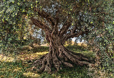Olive tree méditerranée photo papier peint mural national geographic 368x254