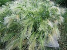 Ornamental Grass,Hordeum jubatum ,Squirrel-tail Grass,Foxtail Barley 500 Seeds