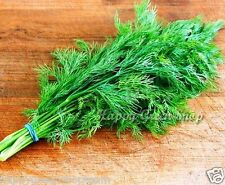 Dill Anethum Graveolens 8000 seeds 18.5gram/0.65oz fragrant herb vegetable early