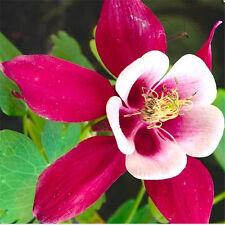 100 RoseRed Aquilegia (Columbine) Seeds   Perennial Flower Seeds