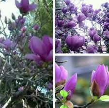 MAGNOLIA (Magnolia Grandiflora) SEEDS. Purple Colour Tree Flower Garden Gift