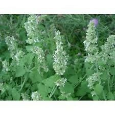 Catnip- Lemon - (Nepeta Cataria) - 250 Seeds