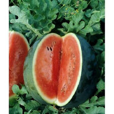400 Seeds Florida Giant Watermelon Seeds new seed for 2017 Heirloom Non-GMO