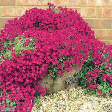 200 seeds of Rock Cress Bright Red groundcover wall cover flowers climbing grass