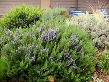 Herb seed - ROSEMARY Rosmarinus Herb Seeds - Pack of 20 seed