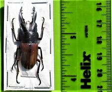 Stag Beetle Prosopocoilus bruijni rufulus Male FAST SHIP FROM USA