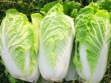 MICHIHILI CABBAGE Chinese Vegetable Bok Choy Seeds 3,700+ Organic Seeds