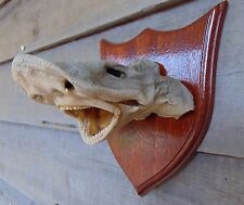 L1 Real LEOPARD SHARK Head Taxidermy Mount Shark Jaws Teeth Triakis semifasciata