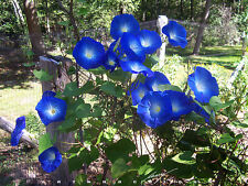 100 Seeds Large morning glory Ipomoea indica Cypress vine moonflower Flower Bulk