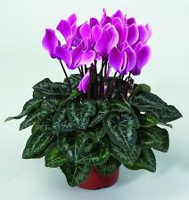 15 Cyclamen Seeds Laser Synchro Purple