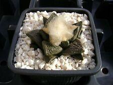 Ariocarpus fissuratus SB 413, Brewster co, Texas OWN ROOT 4,5 cm, Rare cactus