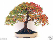 30 seeds of Canadian maple tree northern sugar acer bonsai home grow