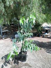 Grafted Sir prize avocado fruit tree 3.5 ft to 4 ft tall
