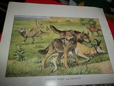 Louis A Fuertes Wolf & Coyote  bookplate from 1919 National Geographic Mag
