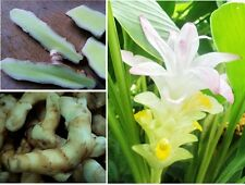 WHITE TURMERIC 2 OZ. RARE FRESH RHIZOME Curcuma mangga HERB EDIBLE MIX FOOD 2016