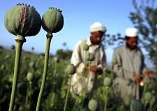 Afghan Bleu GRAINES de PAVOT 40 000 graines 7d