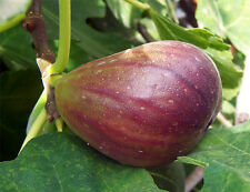 'Olympian' Fig Fruit Tree - 1 Gallon Size, Most Cold Hardy Fig. Ficus carica.