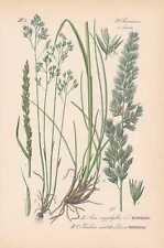 Aira caryophyllea - Nelken-Haferschmiele Wiesen-Kammgras THOME Litho von 1886