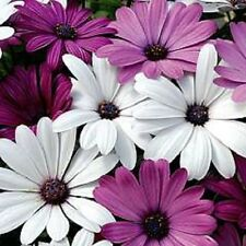 20+ White and Purple African Daisy Mix Flower Seeds / Perennial