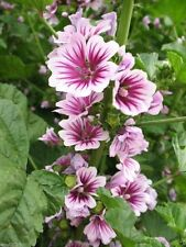 "French Hollyhock - ""Zebrina""- (50 Seeds) Malva sylvestris - Perennial"