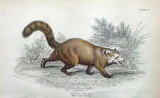 WHITE NOSED COATI, RACCOON, NASUA Jardine hand col. antique animal print 1843