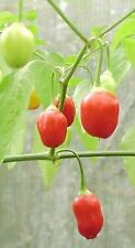 Vegetable - Chili / Chilli Pepper - Inca Berry - 10 Seeds Unusual