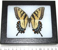 REAL FRAMED BUTTERFLY PAPILIO GLAUCUS FEMALE TIGER SWALLOWTAIL GF2