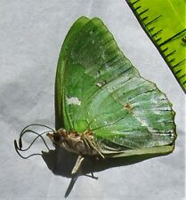 Lot of 2 Ornate Green Charaxes Charaxes subornatus Male Papered FAST FROM USA