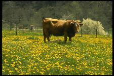 477060 Cow And Dandelions Marcilhac sur Cele France A4 Photo Print