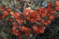 Chaenomeles japonica (Japanese/Flowering Quince) - Attracts Wildlife - 30 seeds