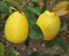 Pseudocydonia sinensis (Chinesische Quitte, Chinese Quince) / 20 Samen, Seeds