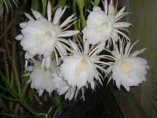 "1 PLANT - NIGHT BLOOMING CEREUS EPIPHYLLUM OXYPETALUM CACTUS ORCHID 10"" + TALL"