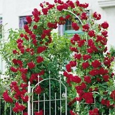 Red Climbing Rose plant  (set of 2) LIVE PLANT