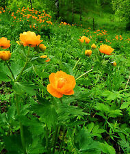 GLOBE FLOWER, ASIAN * Trollius asiaticus * VIVID ORANGE * CUTTING GARDEN * SEEDS
